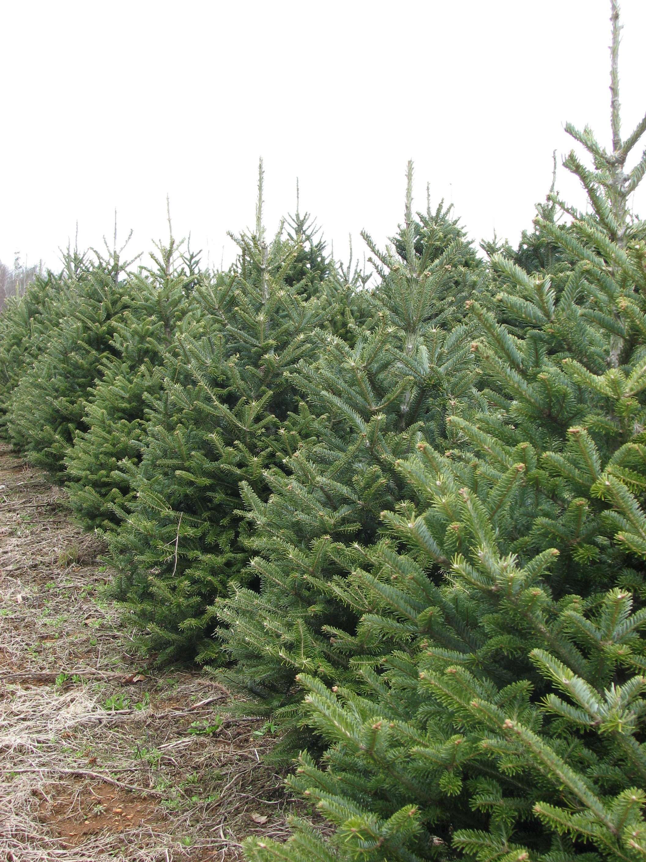 42d4416f9bf Home. Santa s Choice is a family-owned and operated wholesale Christmas  tree farm ...